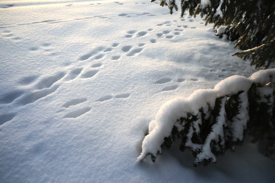 Photo shows where white hares have jumped on soft white snow under a spruce tree.