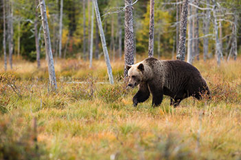 Photo shows a strong brown bear in wilderness.
