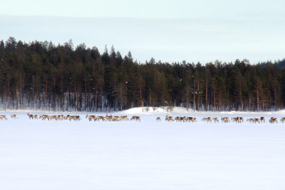 Photo shows a big herd of forest reideer, called also forest caribous, on Villa Cone Beach lake ice.
