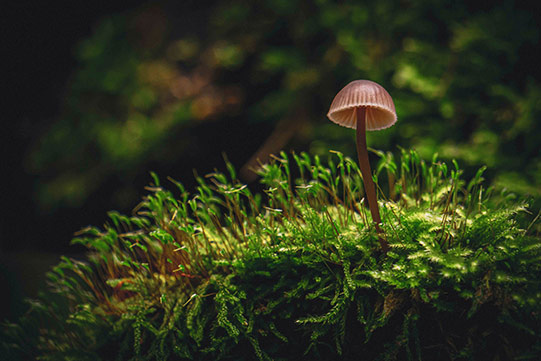 Photo shows a tiny wild mushroom growing on peat moss, which stores carbon.