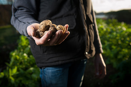 Photo shows locally harvested quality potatoes in the hand of a man.